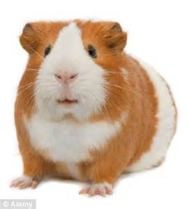 Guinea Pigs Hutches Man Stole Rabbit And A Guinea Pig After A Drunk Night Out