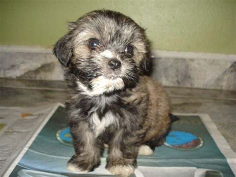 tibetan names for shih tzu 8 facts about shih tzu you didn t