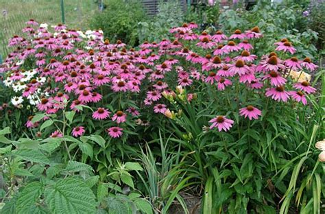lehmboden garten rosa sonnenhut kommt der zuverl 228 ssig jedes jahr wieder