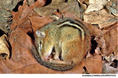 chipmunk hibernation bing images
