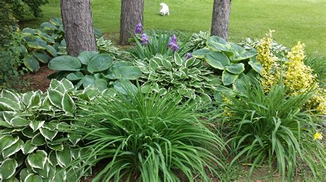 Our Garden Design With Hosta And Ground Cover Hosta Garden Layout