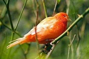 canarini riproduzione in gabbia malattie canarino canarini