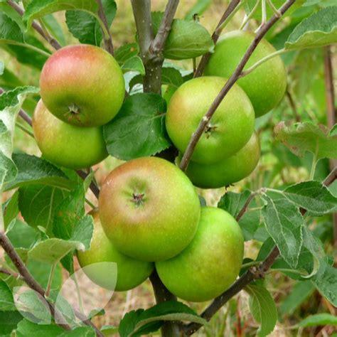 pixie apple trees buy online from blackmoor blackmoor