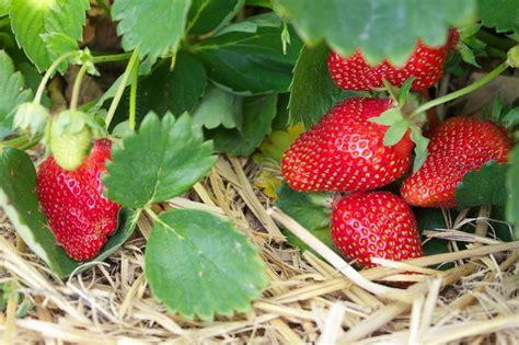 Growing Strawberries   Bonnie Plants