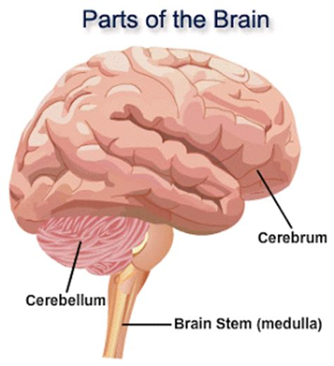 Sections Of The Brain And What They by Shellyscience Nervous System