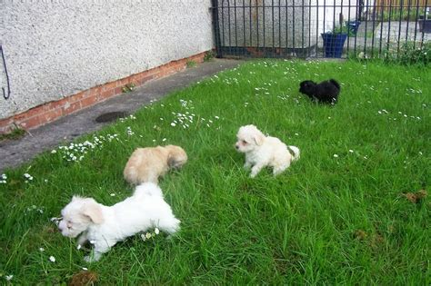 havanese puppies for sale uk havanese puppies for sale redcar pets4homes