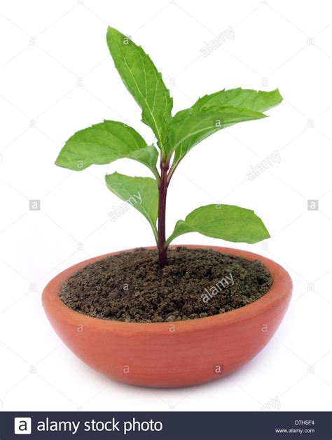 Tulsi Planter by Tulsi Tree Www Pixshark Images Galleries With A Bite