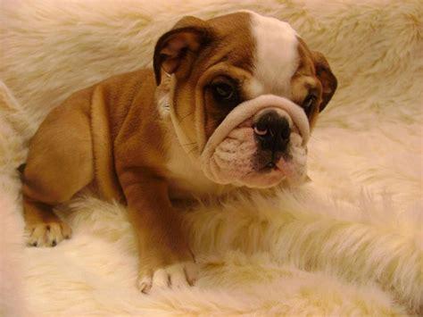 bulldog ingles imagenes imagenes de perros bulldog ingles cachorros images