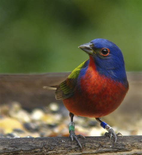 uccelli esotici da gabbia ii papa della louisiana p eoli