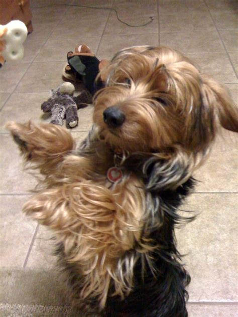 yorkie mix temperament yorkie dachshund mix www pixshark images galleries with a bite