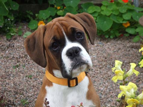 boxer puppies seattle boxer puppy dogs wallpaper
