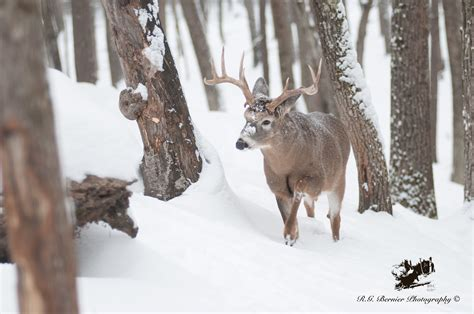 Snowing Deer whitetail deer buck in snow www imgkid the image