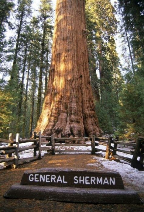 general sherman tree sequoia national park in california the general sherman giant redwood is the largest redwood
