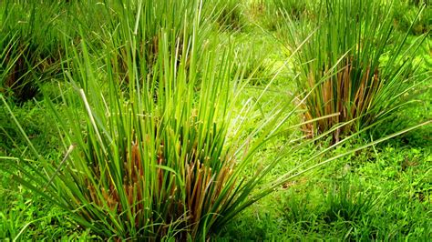 Akar Wangi Essential Vetiver vetiveria zizanioides chemical constituents and structures