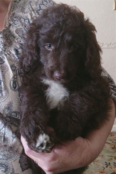 springerdoodle puppies for sale ready now springerdoodle pups milk chocolate