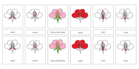 montessori materials flower nomenclature cards age 3 to 6 17 best images about homeschooling science biology
