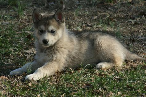wolfdog puppies timber the wolf puppy by greensh on deviantart