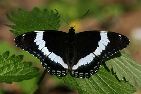 black butterfly white admirals naturally curious with mary holland