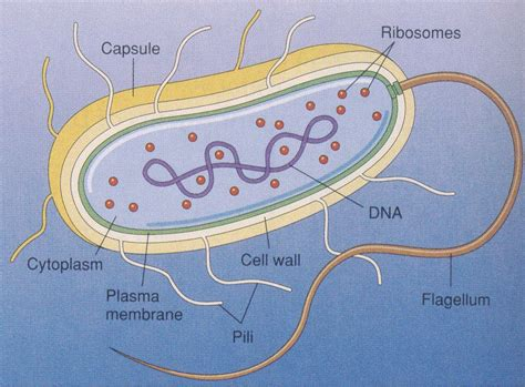 diagram bacterial cell bacteria cell diagram bacterial cell toxin bacteria what