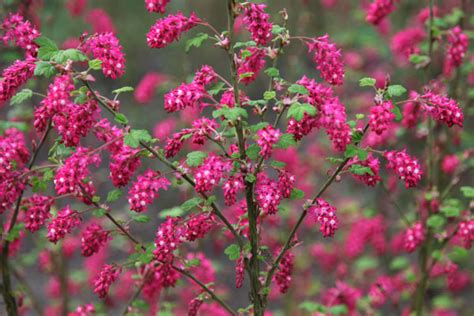 Flowering Currant Shrub - buy flowering currant ribes sanguineum pulborough scarlet delivery by crocus