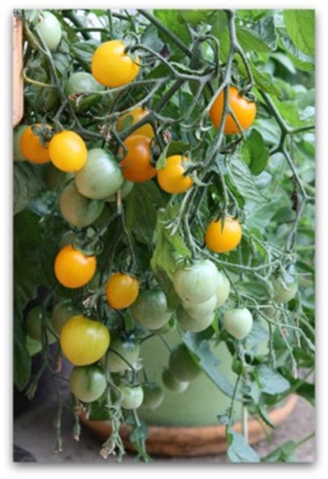 tomato fertilizer tips