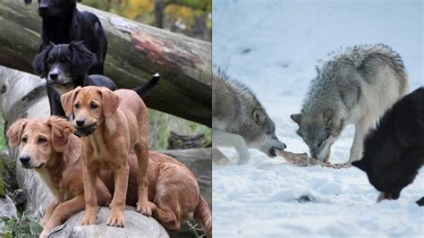 difference between wolves and dogs what are the similarities between dogs and wolves pgbari x fc2