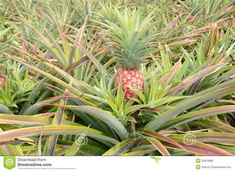 red pineapple royalty free stock image image 36870986