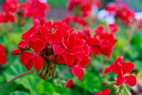 fiori da balcone fiori da balcone estivi i magnifici 5 donnad