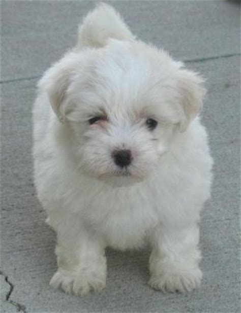 maltipoo pomeranian 17 best images about my dogs on spaniels poodles and puppys