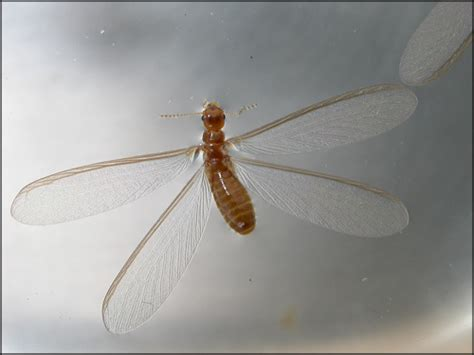 Insects That Shed Their Wings by Winged Termite Swarmer Alate
