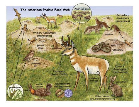prairie food american prairie food web