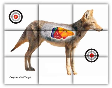 printable targets animal coyote vitals target free printable shooting targets