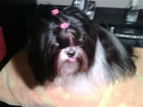 when do shih tzu puppies open their shih tzu breed information and pictures