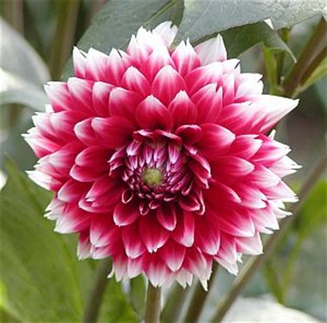 photos of colombia flowers dahlia mexico