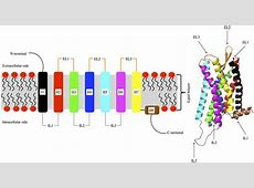 Left: Schematic view of the overall structure of a G ... G Protein Coupled Receptors Diagram