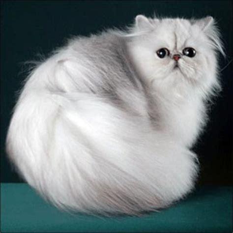 5 kucing termahal didunia mediaokofee