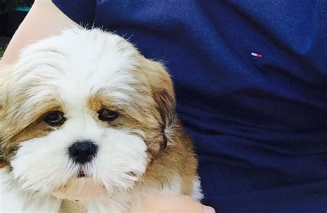 lhasa apso cross shih tzu puppies for sale gorgeous shih tzu cross lhasa apso leyburn pets4homes
