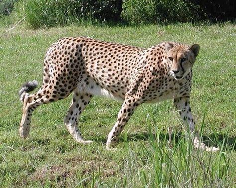 Animal Land 12 top 10 fastest animals on land china org cn