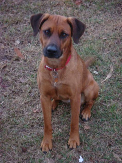 cur puppy black cur info temperament puppies facts pictures