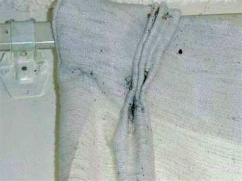 bed bugs on curtains pictures of bed bug infestations