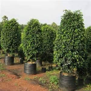 Ficus benjamina black ficus benjamina black exporter