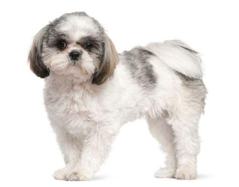tipos de shih tzu cachorros para apartamento cuidados e seguran 231 a no ambiente cachorrogato