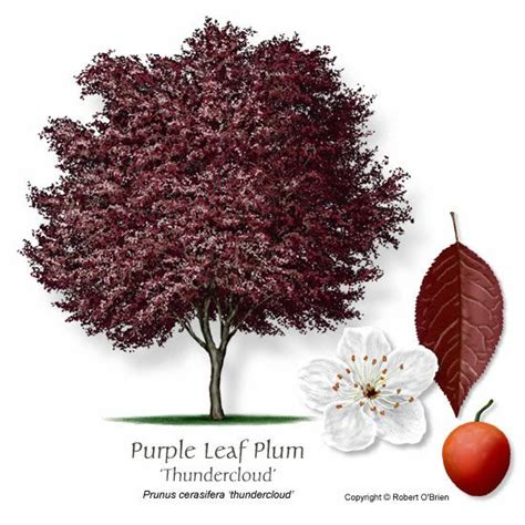 small purple fruit trees 17 best images about thundercloud plum trees on