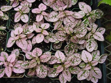 polka dot plant terrarium plants pinterest