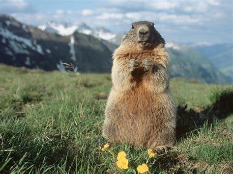 groundhog day ita les marmottes