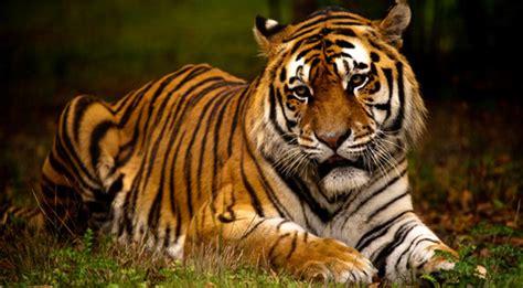 Dormir Avec Les Tigres 1257 by 140 F 233 Lins 30 Esp 232 Ces Et Sous Esp 232 Ces Diff 233 Rentes 4