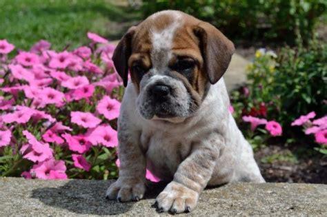beabull puppies ohio adorable beabull puppies craigspets