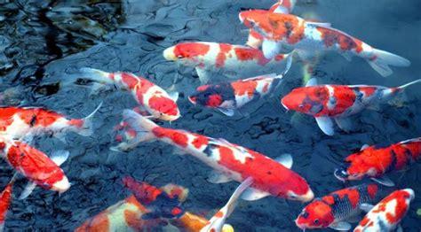 foto tato ikan koi simbol keberanian ini 5 fakta menarik tentang ikan koi