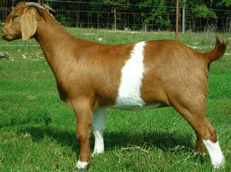breeds of breeds of sheep and goats images