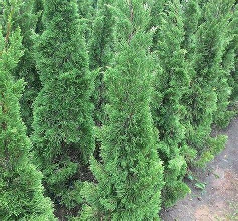 Bibit Pohon Cemara Udang harga jual pohon cemara cemara lilin cemara kipas cemara natal pua pua